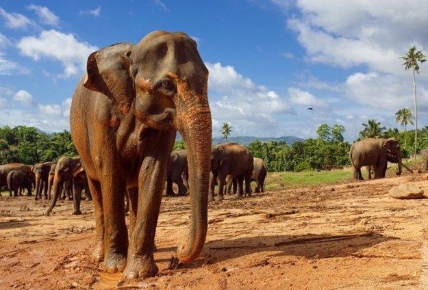 Pinnawalla sloní sirotinec
