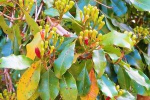 Takto vyzerá vo voľnej prírode rastlina klinčekovec voňavý, z ktorej sa sušením získavajú klinčeky. Klinček v skutočnosti nie je plod ale usušený pupeň kvetu. Kvety sú na začiatku zelené, keď zmenia farbu na tmavočervenú, sú pripravené na zber.
