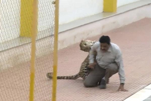 Leopard napadol ľudí v indickej škole.
