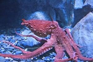 Krvomiazga chobotníc má po okysličení modrú farbu. Rovnakú farbu krvomiazgy majú aj pavúky, kalmáre a niektoré mäkkýše.