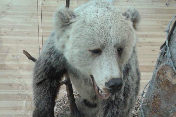 O medvediu výstavu majú záujem aj zahraniční návštevníci.