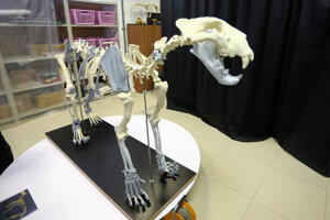 Vyhynul približne pred 10-tisíc rokmi. Nález kostí samca zo Západných Tatier z minulého storočia patrí medzi najväčší v Európe.