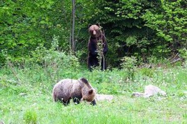 Medvede hnedé. Nedávno sa v Malej Fatre uskutočnilo monitorovanie ich počtu.