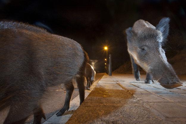 Diviaky hľadajú potravu blízko odpadkových košov v Barcelone.