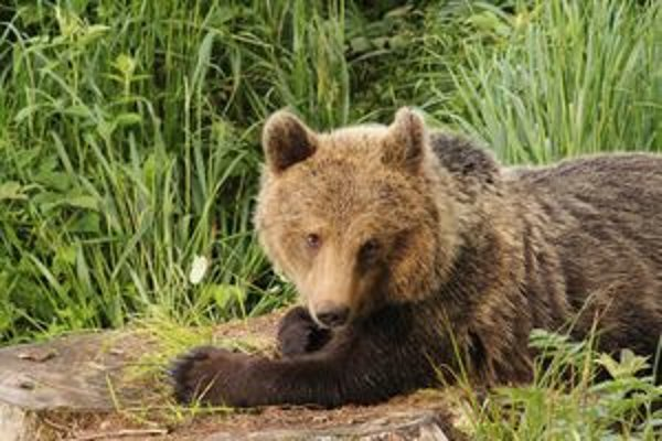 Medveď hnedý z Malej Fatry. Aj takéto unikátne fotografie vznikajú pri monitoringu.