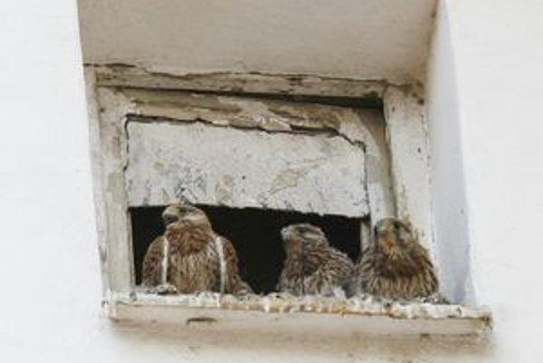 Tri mláďatá sokola myšiara vyrastajú v centre Žiliny na Sládkovičovej ulici.