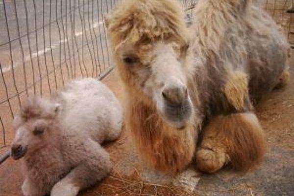 V predstaveniach cirkusu vystupuje aj množstvo zvierat.