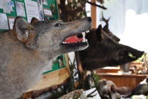 Hlavnou potravou vlkov je diviak.