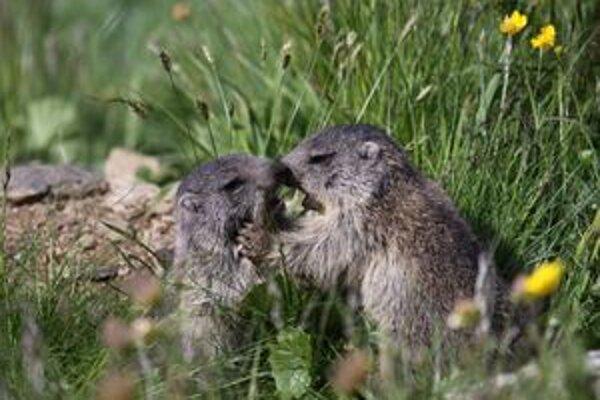 Život svišťov sa dá sledovať v priamom prenose na internete.