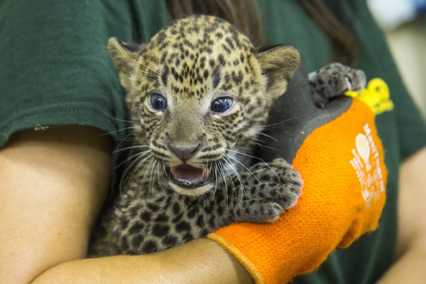 Prvá veterinárna prehliadka leoparda cejlónskeho.
