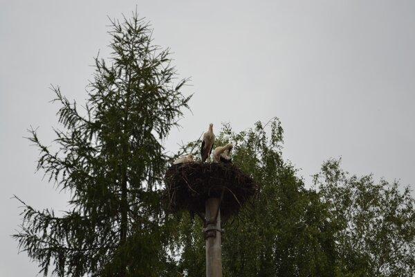 V polovici augusta v jednom z hniezd v Kamenici nad Cirochou ešte boli mláďatá a ich adoptívni rodičia.