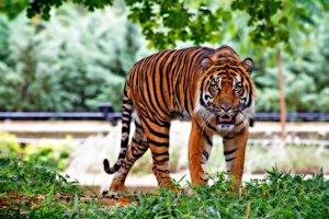 Tiger džungľový sumatriansky žijúci v zajatí. Druh patrí medzi kriticky ohrozené živočíchy, vo voľnej prírode žije len niekoľko stoviek jedincov. Jeho najväčším