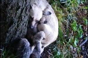Fenka sa v prudkej búrke schúlila pod strom a snažila sa ochrániť svoje maličké. Dva zahynuli, o život ostatných v Tuláčiku bojujú.