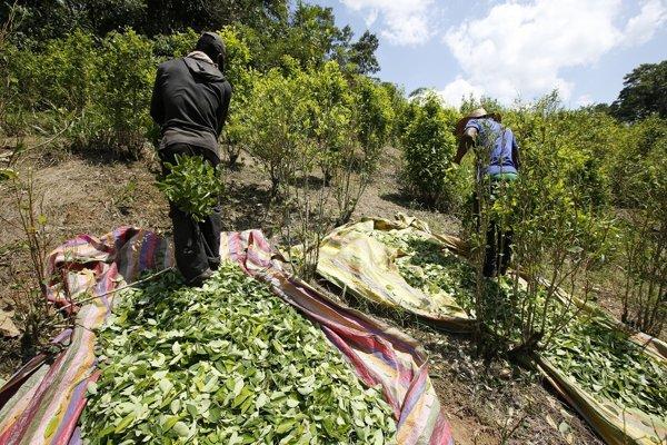 Pestovanie koky v Kolumbii dosiahlo rekordnú úroveň