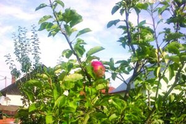 Jabloň, ktorá rodí i kvitne.