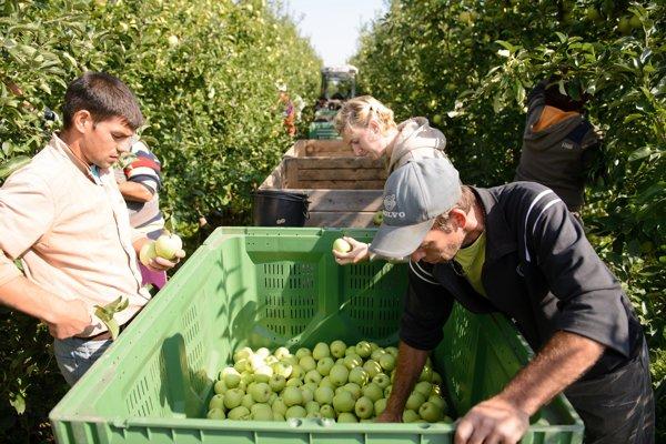 Získať ľudí na zber tohtoročnej rekordnej úrody bol problém na celom Slovensku.
