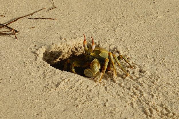 Na Maldivách žije množstvo rôznych druhov krabov.