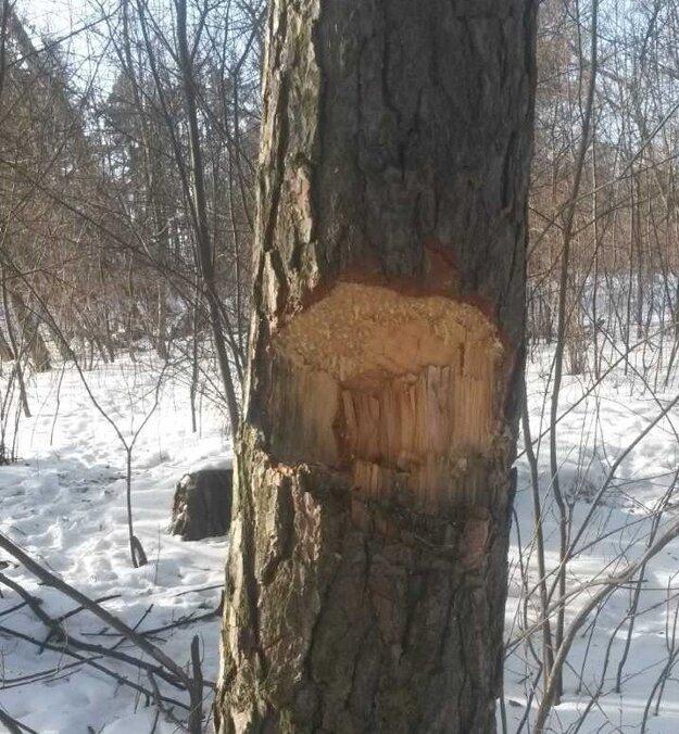 Značka na strome, označili si ho osadníci na výrub