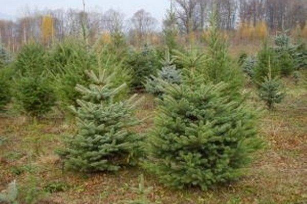 Miesto pre vianočné stromčeky pozorne vyberajú. Ideálne je pre ne vlhké prostredie a čo najrovnejší terén.