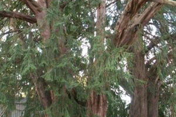 O strom roka súťaží aj pruštiansky tis.