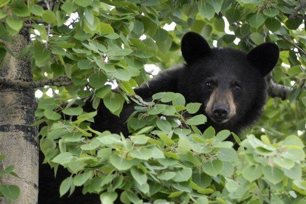 Predseda Poľovníckeho združenia Poludnica Miroslav Droppa upozornil na nepochybné premnoženie medveďov.