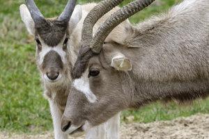 Mláďa adaxa nubijského (vľavo), ktoré patrí tiež medzi najnovšie prírastky Zoologickej záhrady v Bratislave.
