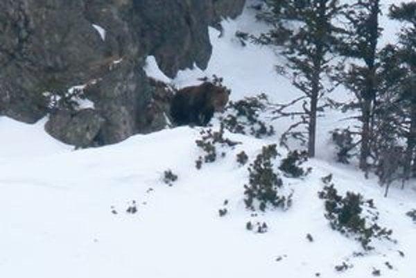 Jeden z dvoch prebudených medveďov, ktoré strážca Tatranského národného parku videl už pred niekoľkými dňami.