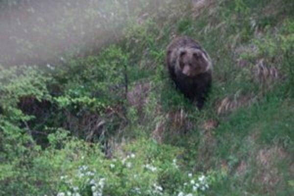 Obyvateľom Podbrezín sa naskytol ráno pohľad na medveďa, ktorý sa prechádzal pod balkónmi.