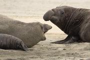 Správcovia parku bežne tulene z Drakeovej pláže odháňajú, počas shutdownu nemal, kto túto prácu robiť.