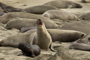 Na pláži je zhruba 60 dospelých jedincov a 35 mláďat tuleňa slonieho.