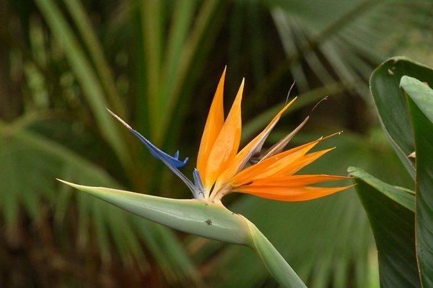 Strelícia kráľovská (Strelitzia reginae).