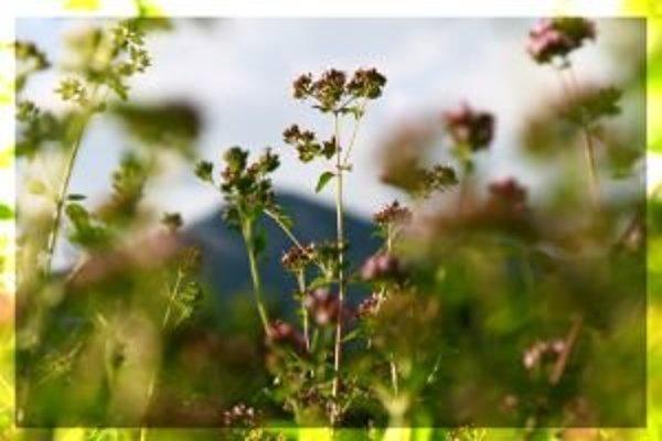 Medzi liečivé rastliny patrí aj oregano.