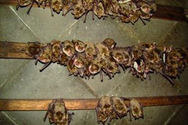 S netopiermi sa učia žiť obyvatelia bytovky na sídlisku Klačno.
