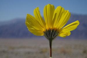 Geraea canescens známa tiež ako púštne zlato.