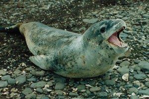 V truse tuleňa leopardieho našli kľúč USB.