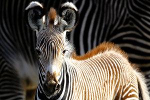 Päťdňové mláďa zebry Grévyho menom Heinrich pred matkou Kiangou v zoo v Berlíne.