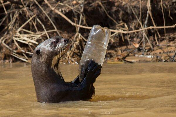 Vydra v Brazílii s plastovou fľašou.