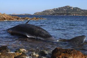 Uhynutý vorvaň pri Porto Cervo na pobreží Sardínie.