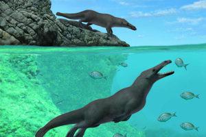 Ilustrácia ukazuje dva jedince druhu Peregocetus. Jeden stojí na kamennom pobreží dnešného Peru a druhý loví. Podoba jeho chvosta je iba hypotetická.