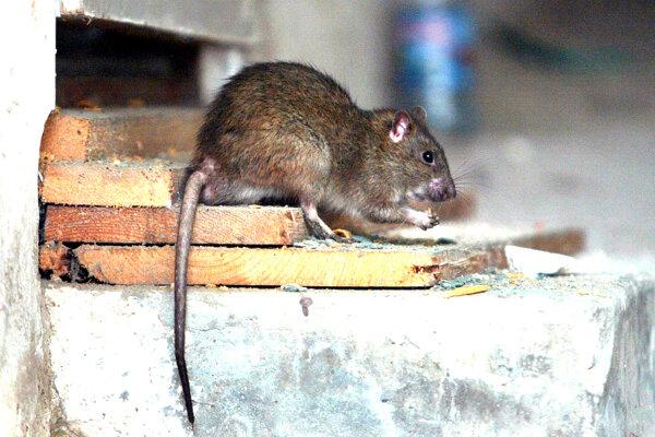 Potkany sú postrachom miest.