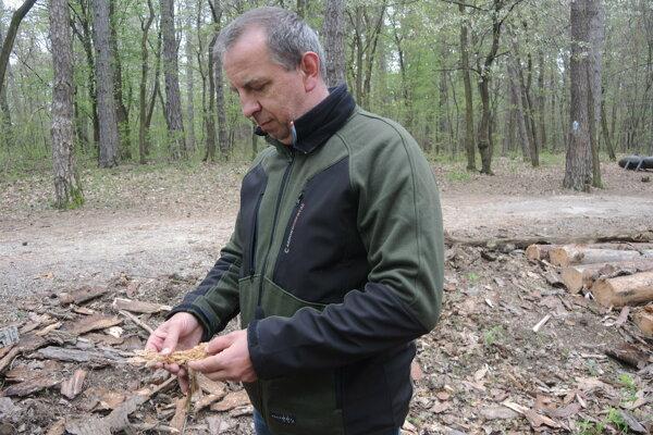 Správca lesoparku Brezina Ivan Jančička ukazuje poškodenie drevnej hmoty.