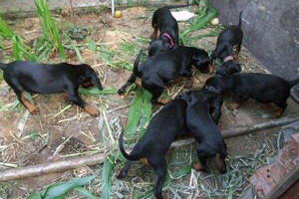 Sedem psíkov slovenského kopova teraz čaká na nových chovateľov.