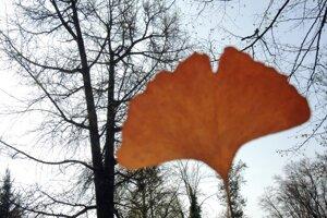 Strom ginko má nezameniteľný tvar listu.