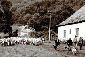 Po tom, ako dedinku opustili jej poslední obyvatelia, nasťahovali sa do nej jalovice.
