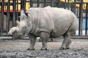 Nosorožec tuponosý severný. Na svete žijú už iba dve samice tohto poddruhu nosorožca tuponosého. Patria českej Zoo  Dvůr Králové, no žijú v keňskej rezervácii Ol Pejeta.