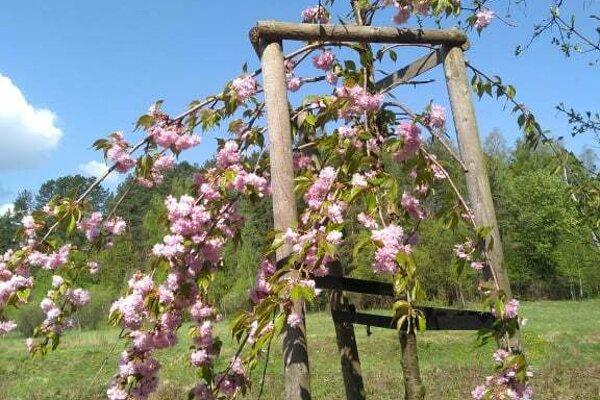 V parku, ktorý zničil prírodný živel, rozkvitla čerešňa pílkatá, ľudovo nazývaná aj sakura.