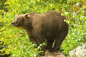Medveď hnedý je na Slovensku našou najväčšou šelmou.