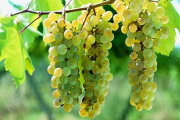 Najväčší podiel na trhu s vínom tvoria takzvané stolové, lacné vína.
