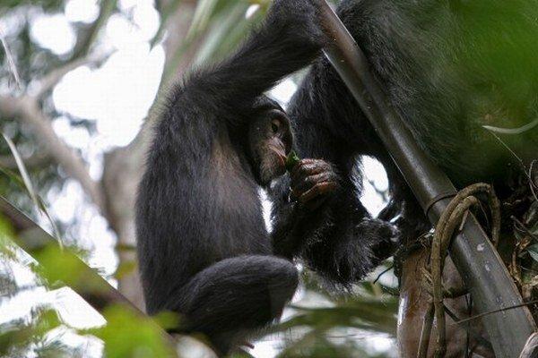 Šimpanzy si zmotali listové poháriky a pustili sa do hodovania.