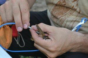 Ornitológ zakladá na nôžku operenca krúžok.